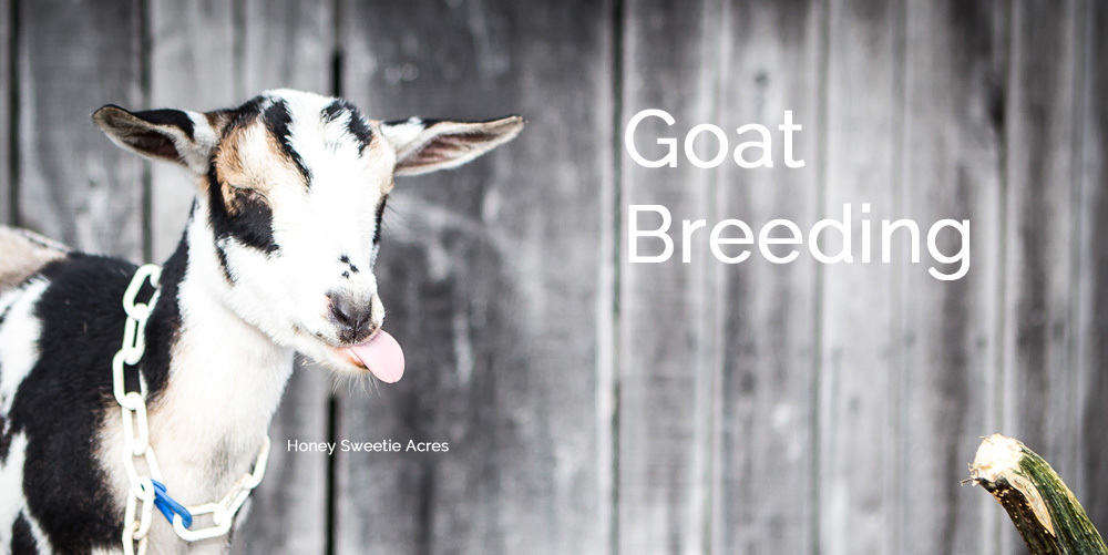 goat breeding season