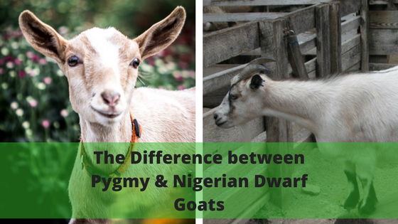 The Difference between Pygmy Goats and Nigerian Dwarf Goats