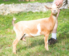 Wood Bridge Farm Fortune Cookie Nigerian Dwarf Dairy Goat