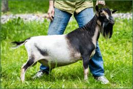 gallant-future nigerian dwarf dairy goat