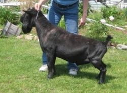 hot-honey nigerian dwarf dairy goat