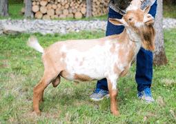 undisputed nigerian dwarf dairy goat
