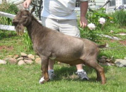 uni nigerian dwarf dairy goat