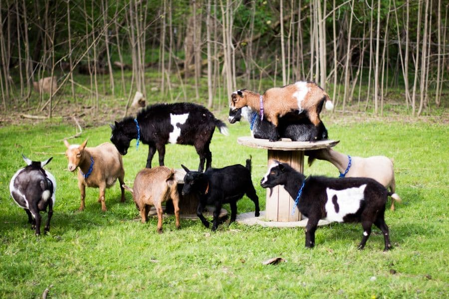 goat kidding schedule Happy Nigerian Dwarf Goats