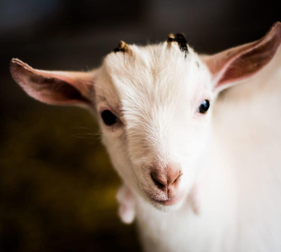 Are Goats Intelligent?