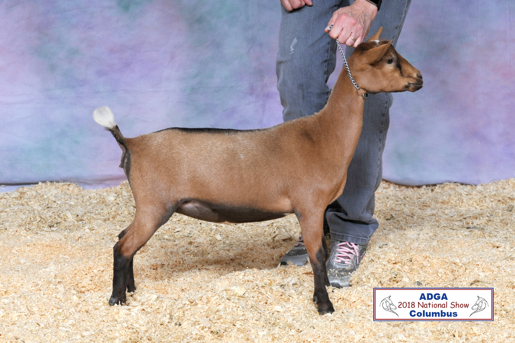 Nigerian Dwarf Dairy Goats at Honey Sweetie Acres - Champion Goats