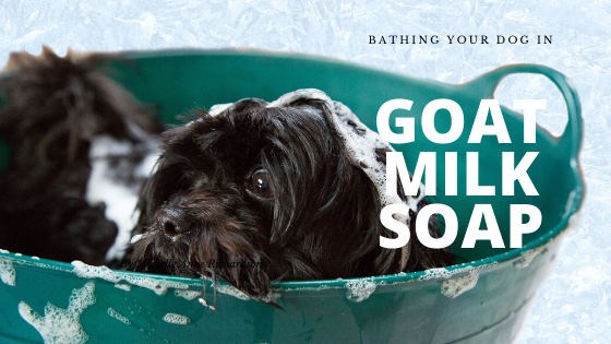 Bathing Your Dog in Goat Milk Soap
