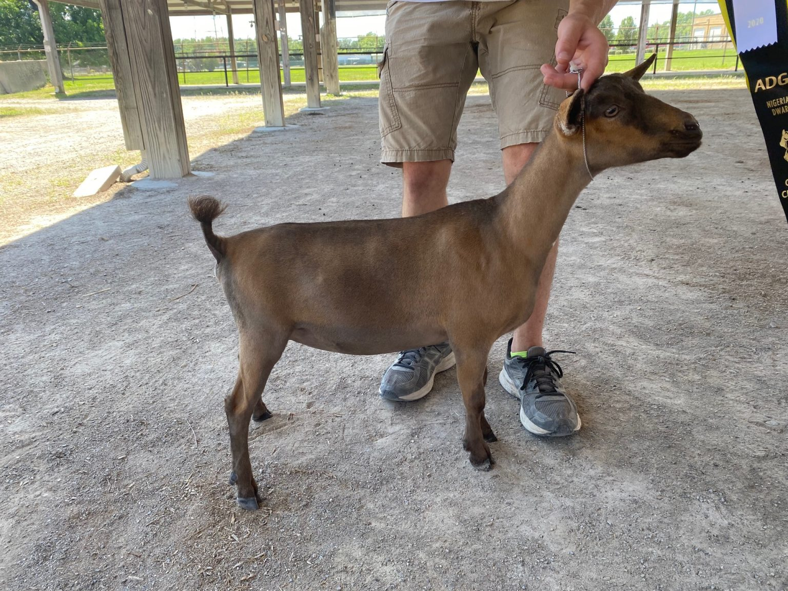 Nigerian Dwarf Dairy Goats At Honey Sweetie Acres Champion Goats